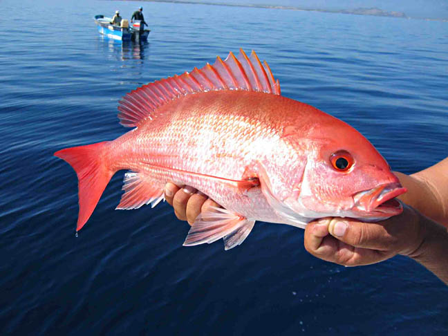 Gulf States Unveil Solution to Red Snapper Management